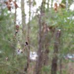 Golden orb-web spiders
